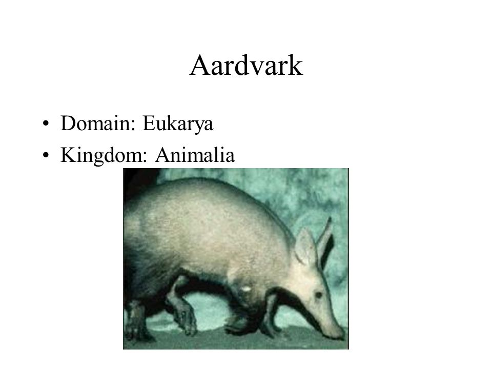 Aardvark Domain: Eukarya Kingdom: Animalia