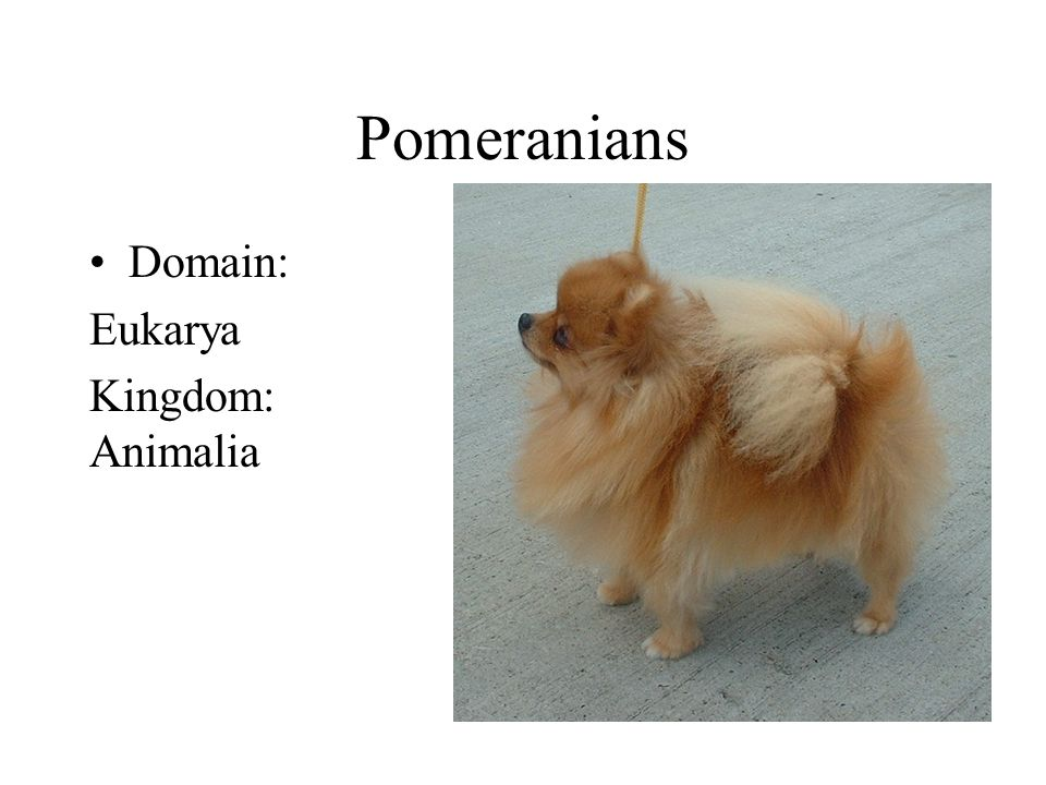 Pomeranians Domain: Eukarya Kingdom: Animalia