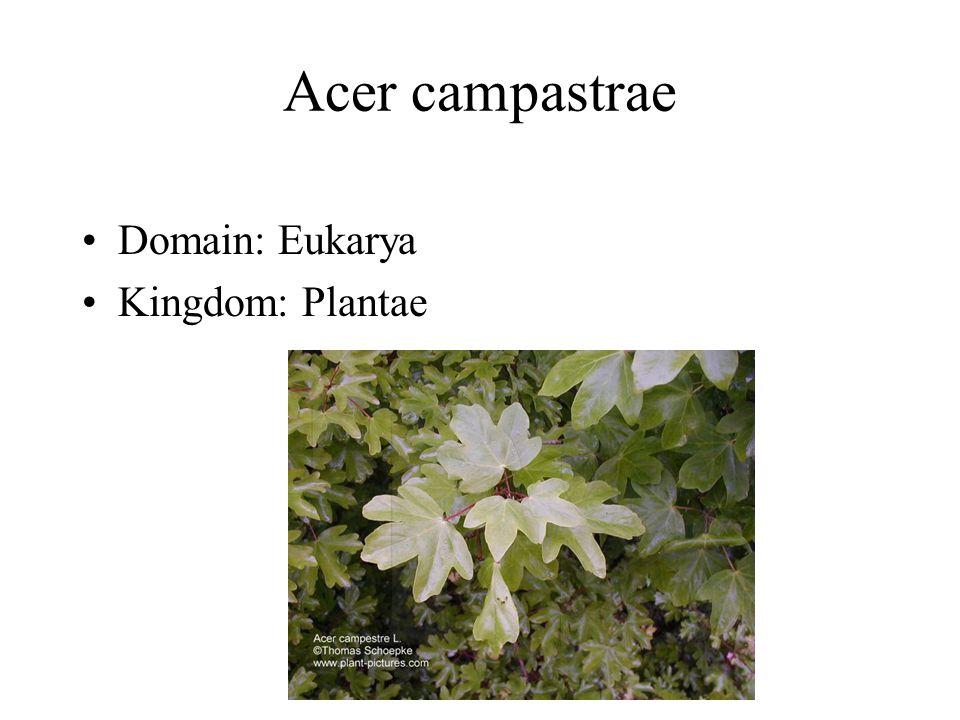 Acer campastrae Domain: Eukarya Kingdom: Plantae