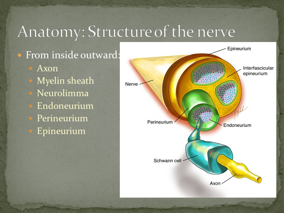 Anatomy: Structure of the nerve