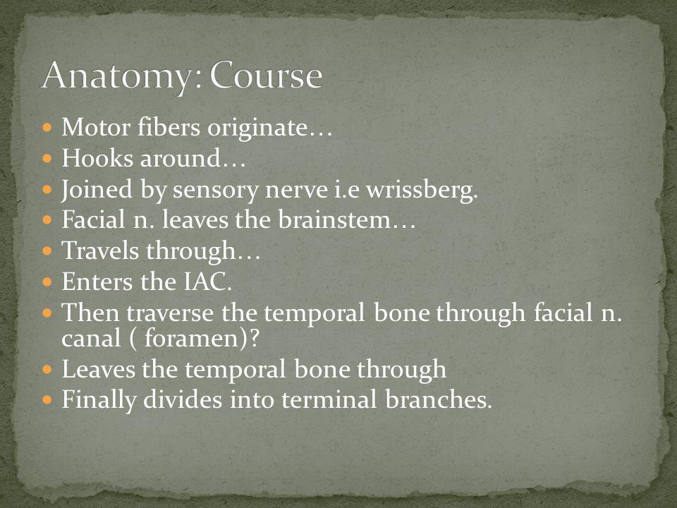 Anatomy: Course Motor fibers originate… Hooks around…