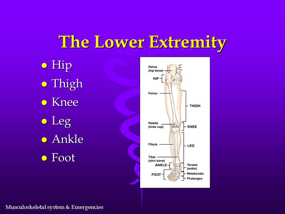 The Lower Extremity Hip Thigh Knee Leg Ankle Foot