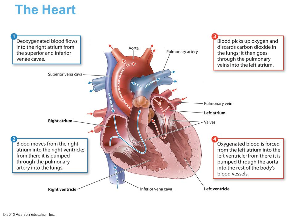 The Heart © 2013 Pearson Education, Inc.
