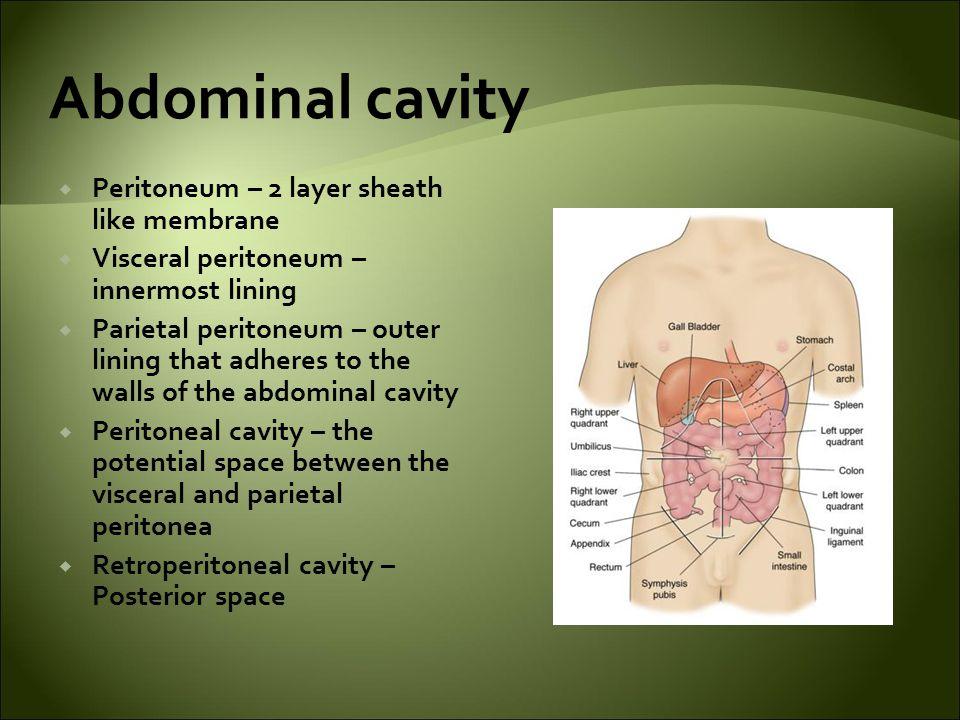 Abdominal cavity Peritoneum – 2 layer sheath like membrane