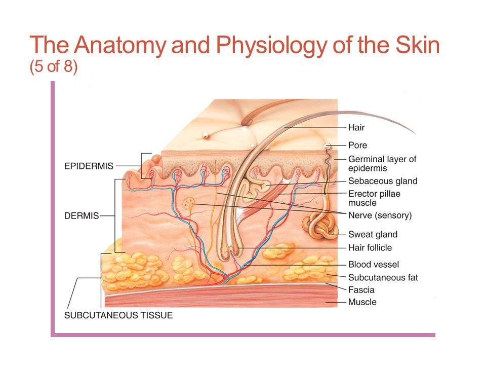 The Anatomy and Physiology of the Skin (5 of 8)