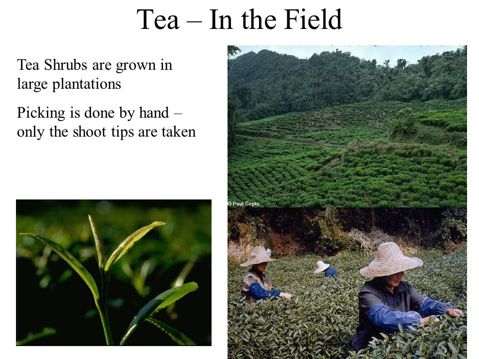 Tea – In the Field Tea Shrubs are grown in large plantations