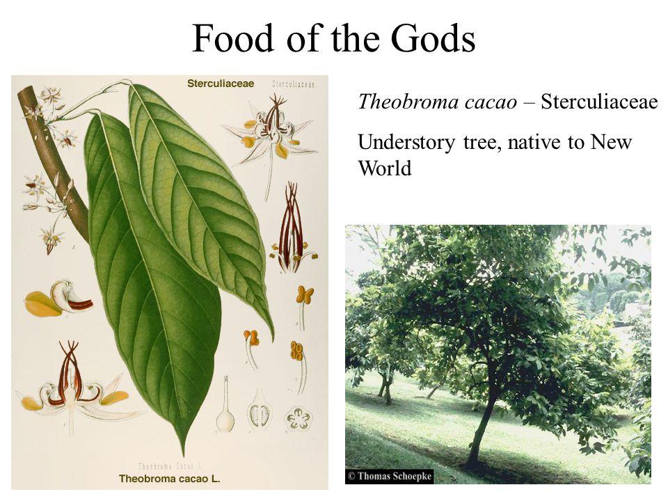 Food of the Gods Theobroma cacao – Sterculiaceae