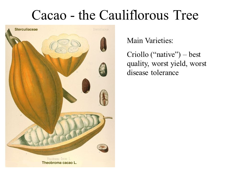 Cacao - the Cauliflorous Tree