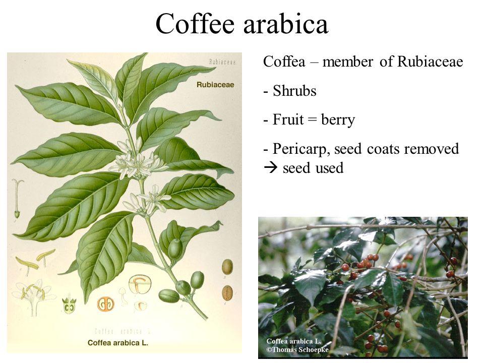 Coffee arabica Coffea – member of Rubiaceae Shrubs Fruit = berry
