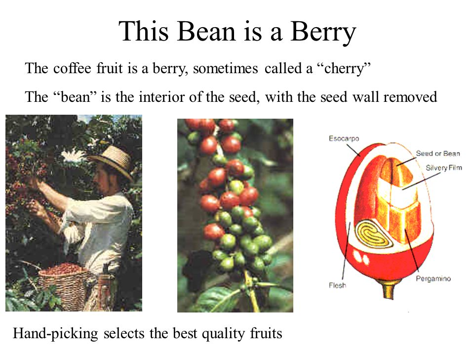 This Bean is a Berry The coffee fruit is a berry, sometimes called a cherry The bean is the interior of the seed, with the seed wall removed.