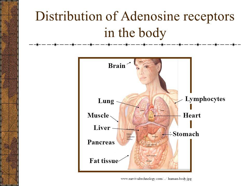 Distribution of Adenosine receptors in the body