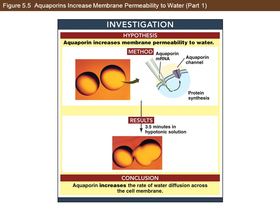 Figure 5.5 Aquaporins Increase Membrane Permeability to Water (Part 1)