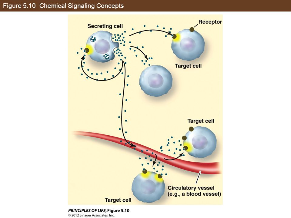 Figure 5.10 Chemical Signaling Concepts