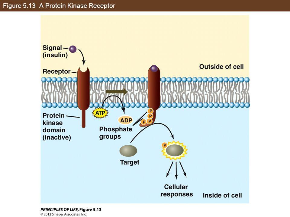Figure 5.13 A Protein Kinase Receptor