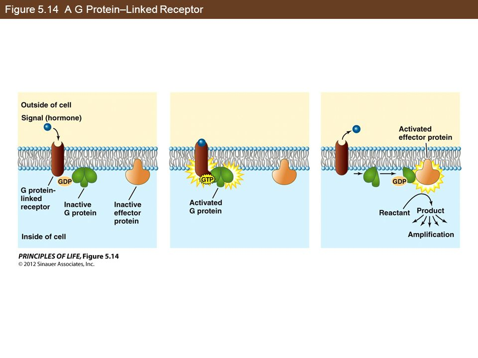 Figure 5.14 A G Protein–Linked Receptor