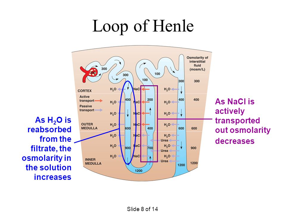 Loop of Henle As NaCl is actively transported out osmolarity decreases