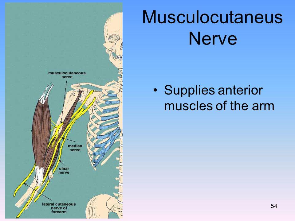 Musculocutaneus Nerve