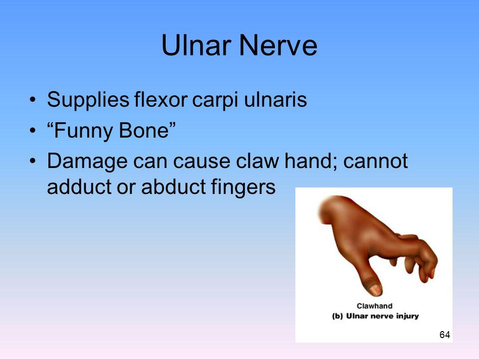 Ulnar Nerve Supplies flexor carpi ulnaris Funny Bone