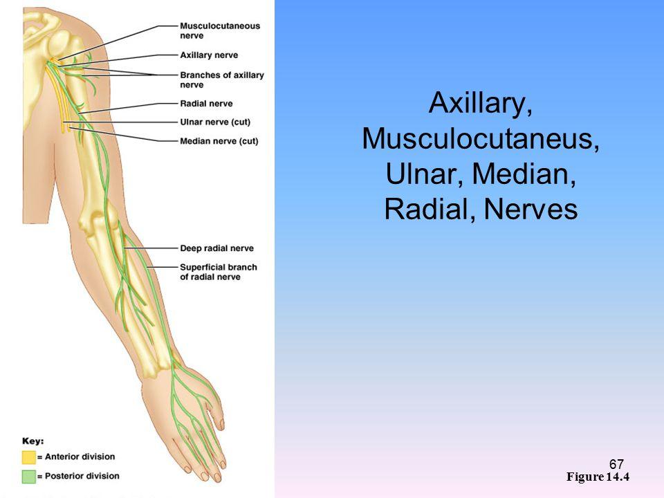 Axillary, Musculocutaneus, Ulnar, Median, Radial, Nerves