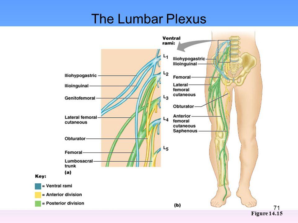 The Lumbar Plexus Figure 14.15