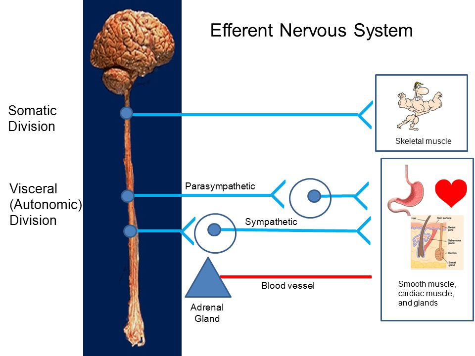 Efferent Nervous System
