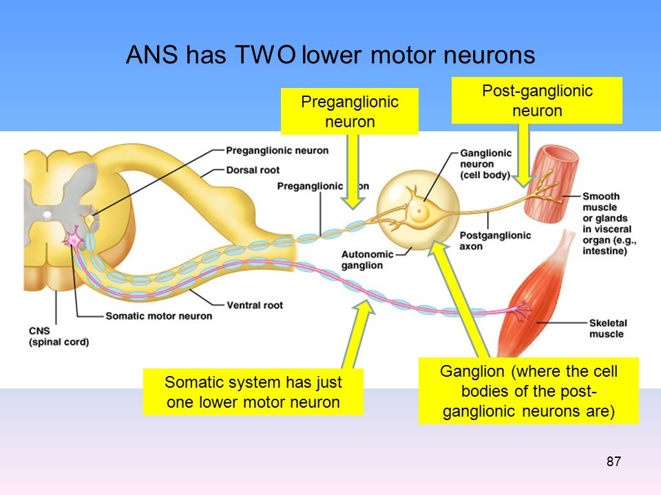ANS has TWO lower motor neurons