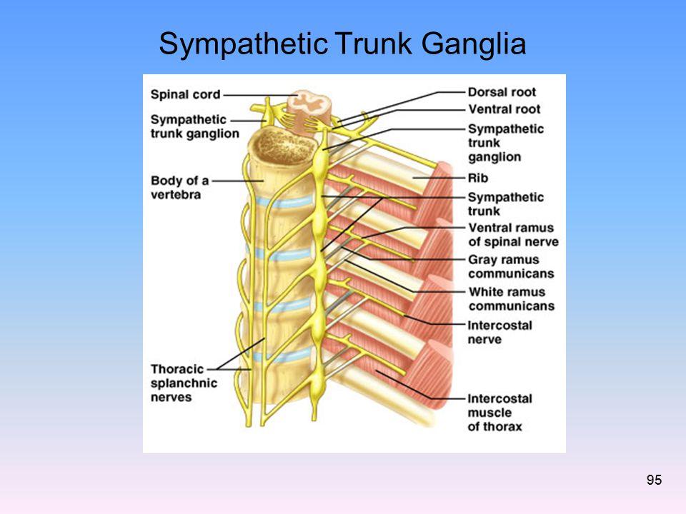 Sympathetic Trunk Ganglia