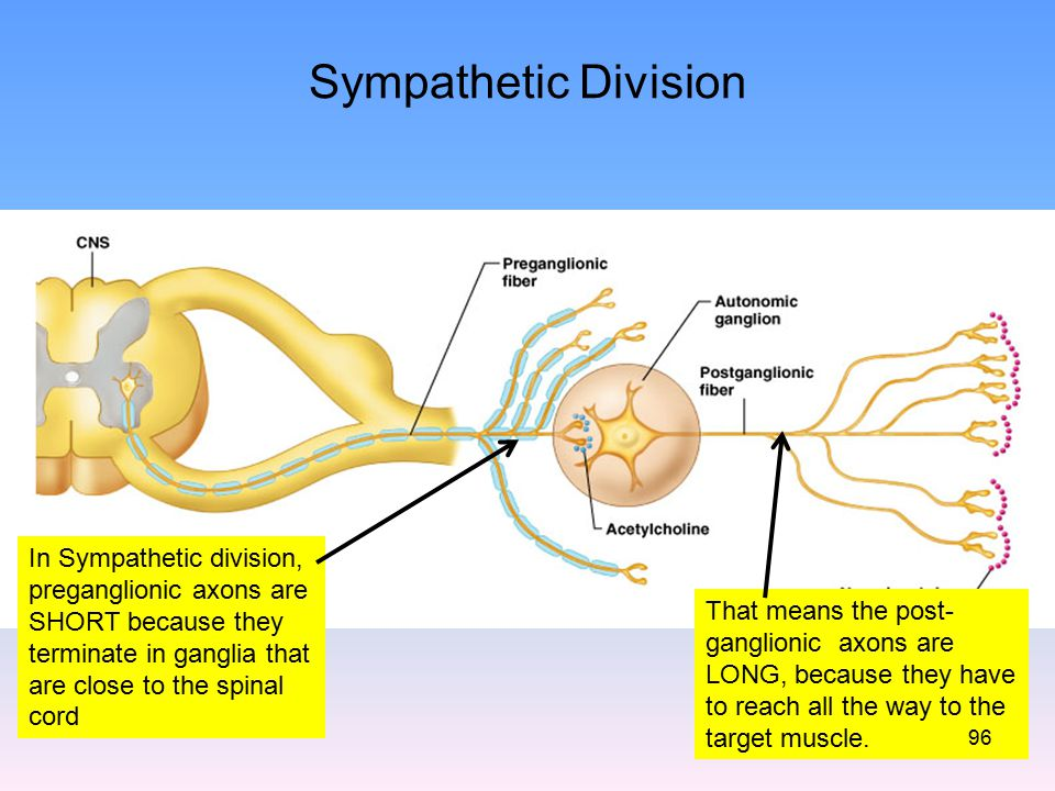 Sympathetic Division In Sympathetic division, preganglionic axons are SHORT because they terminate in ganglia that are close to the spinal cord.
