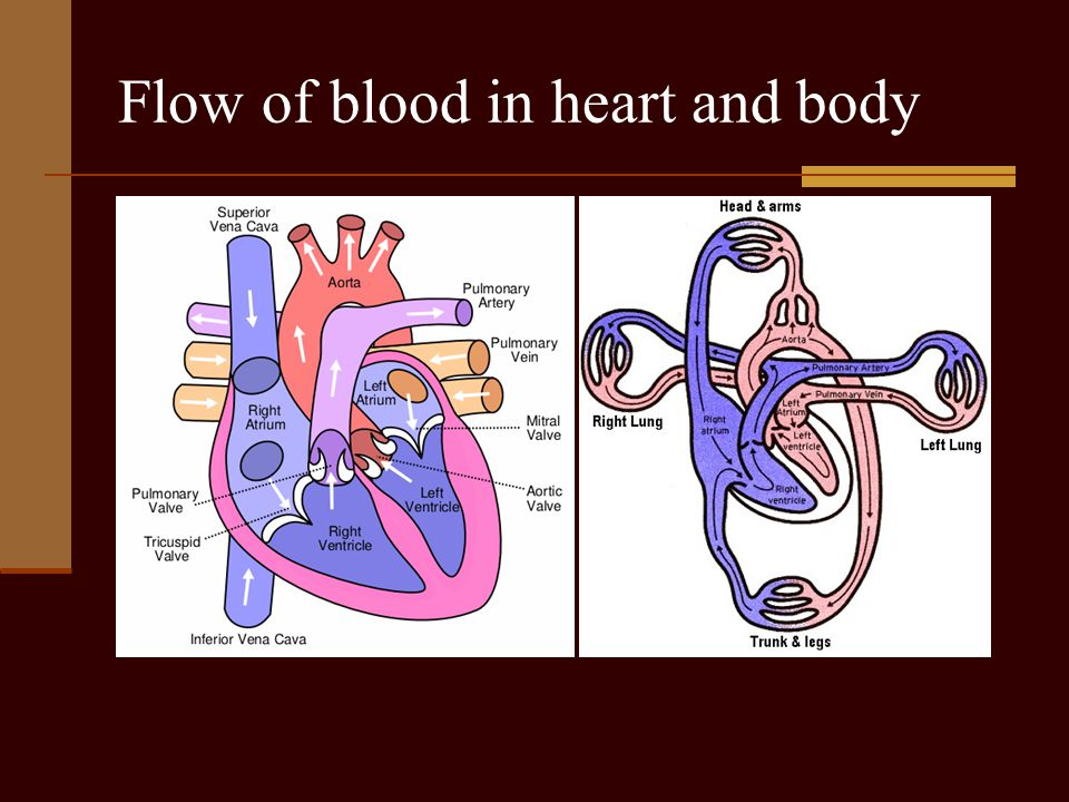 Flow of blood in heart and body