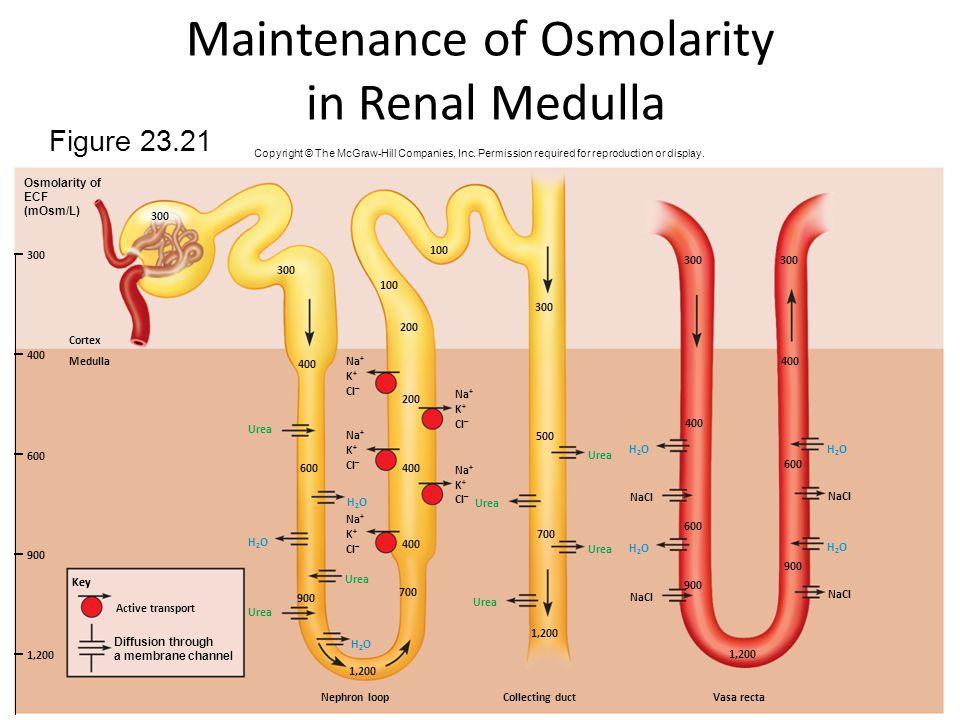 Maintenance of Osmolarity in Renal Medulla