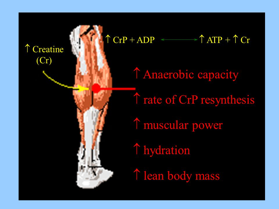  rate of CrP resynthesis  muscular power  hydration
