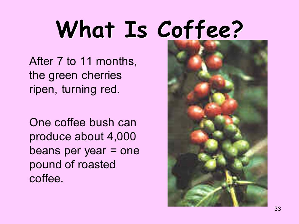 What Is Coffee After 7 to 11 months, the green cherries ripen, turning red.