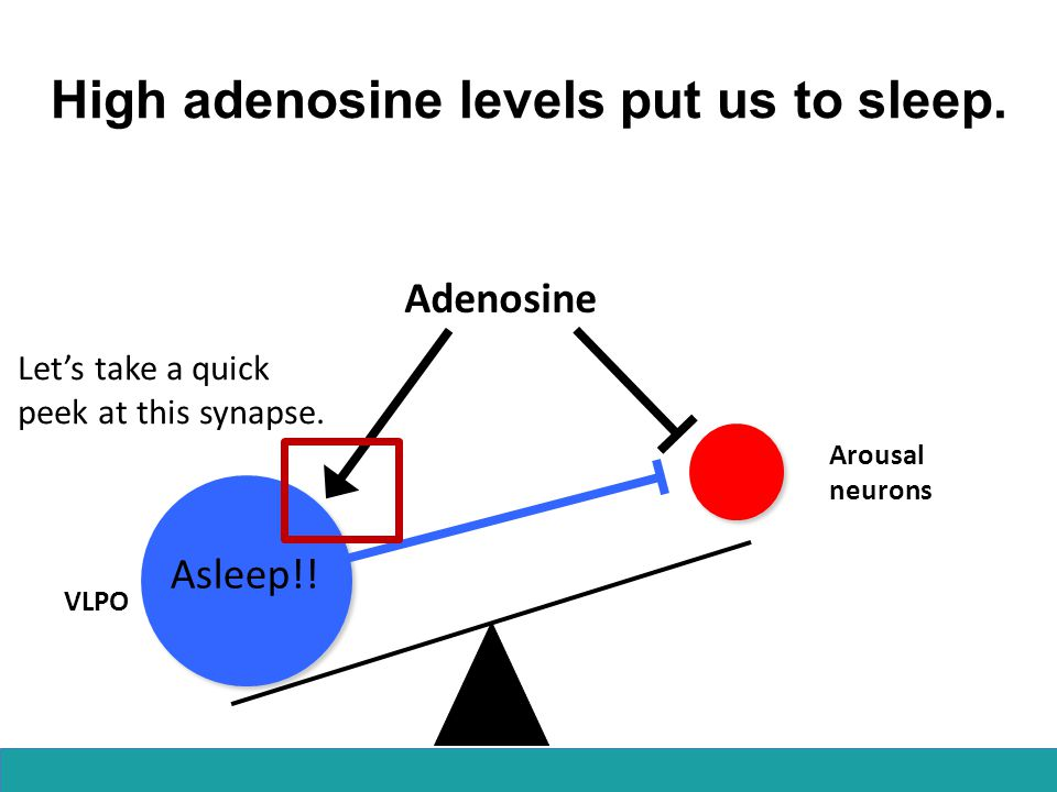 High adenosine levels put us to sleep.
