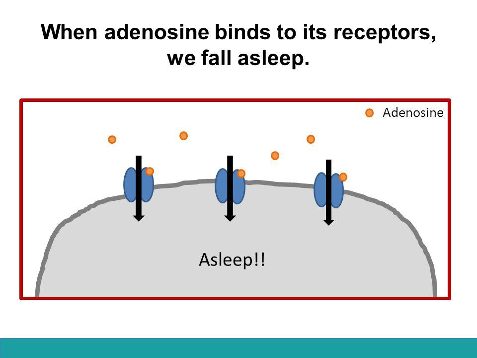When adenosine binds to its receptors, we fall asleep.