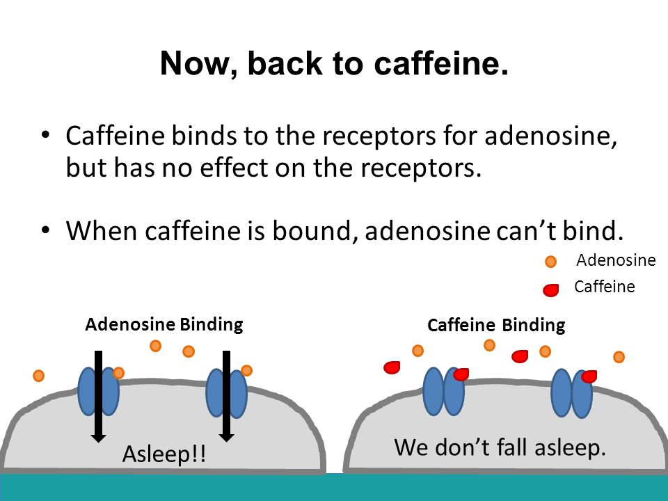 Now, back to caffeine. Caffeine binds to the receptors for adenosine, but has no effect on the receptors.