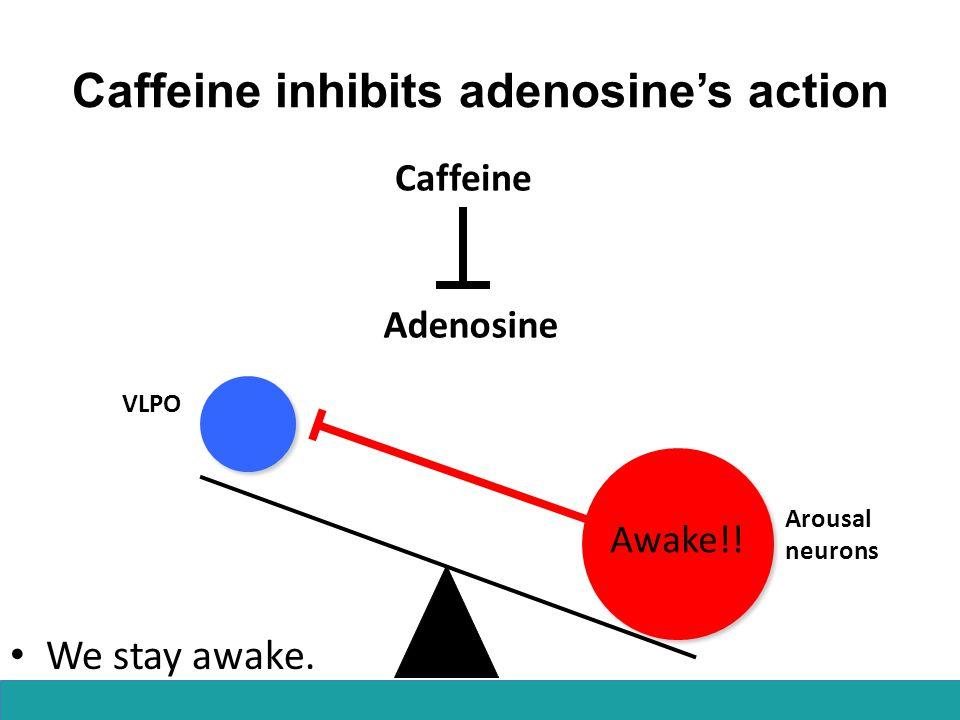 Caffeine inhibits adenosine's action