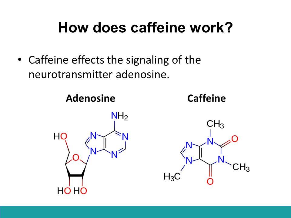 How does caffeine work Caffeine effects the signaling of the neurotransmitter adenosine. Adenosine.