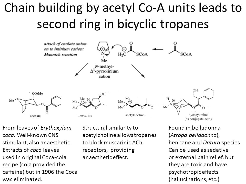 Chain building by acetyl Co-A units leads to second ring in bicyclic tropanes