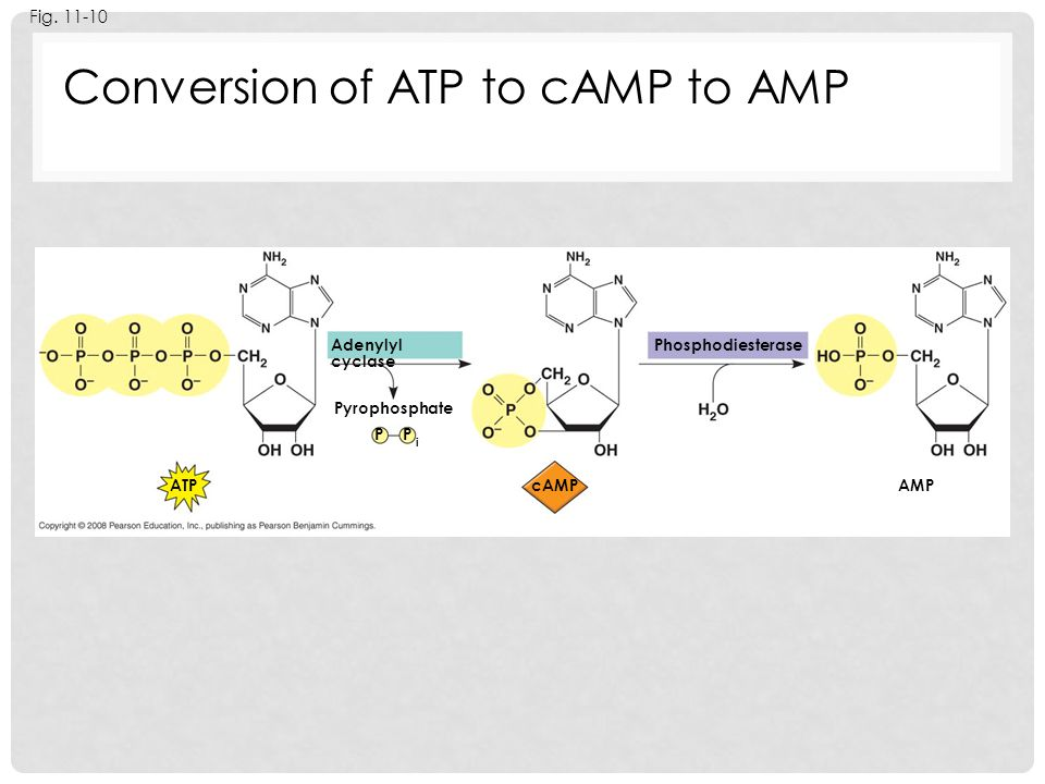 Conversion of ATP to cAMP to AMP