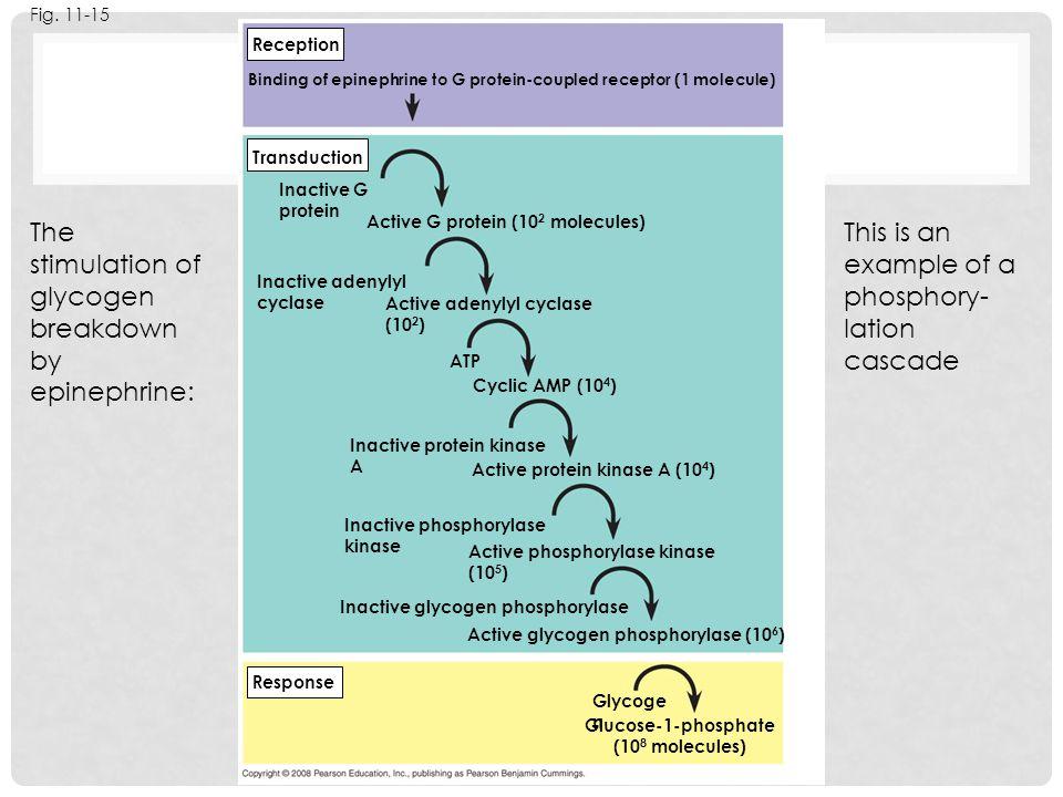 The stimulation of glycogen breakdown by epinephrine: