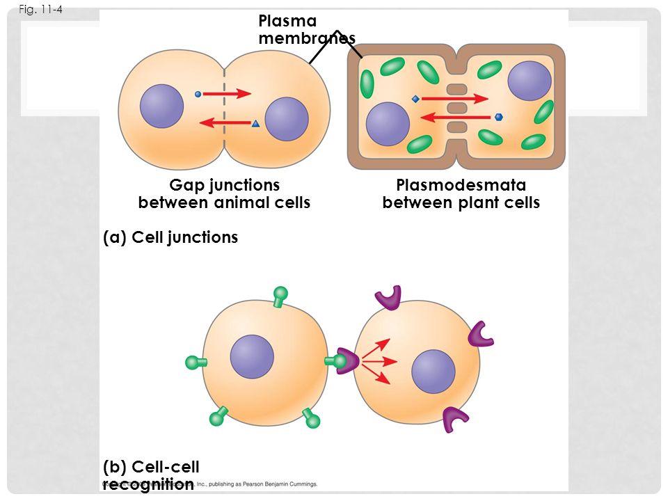 Gap junctions between animal cells Plasmodesmata between plant cells