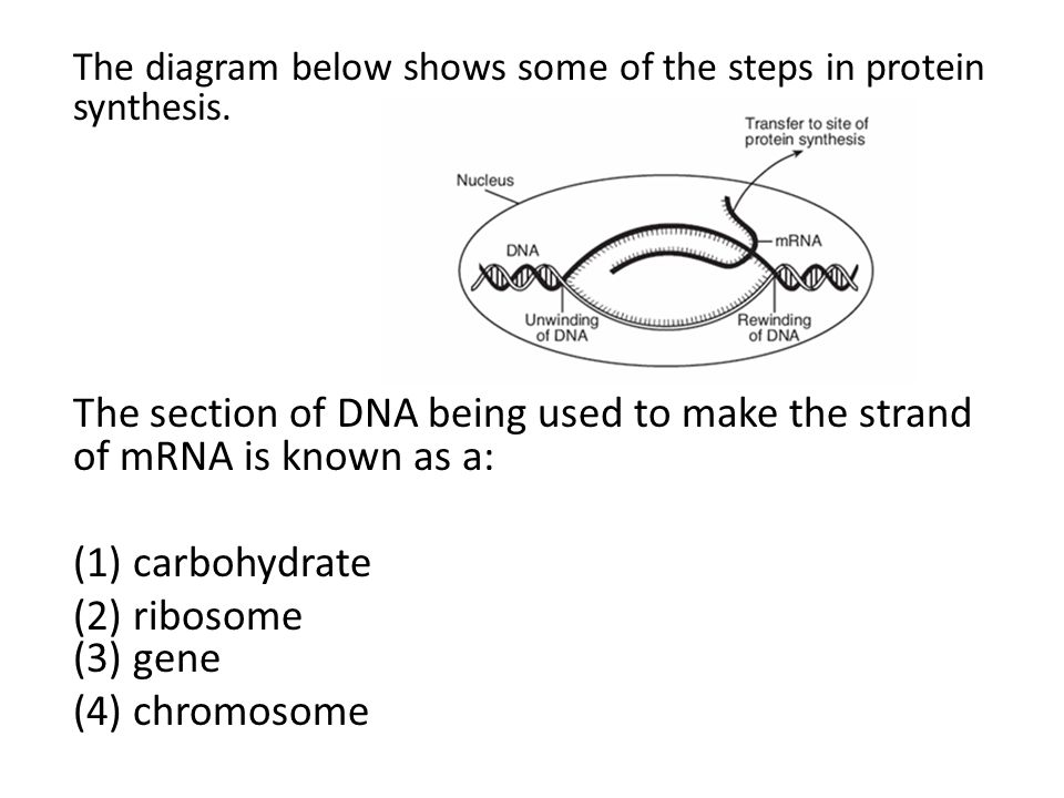 The diagram below shows some of the steps in protein synthesis.