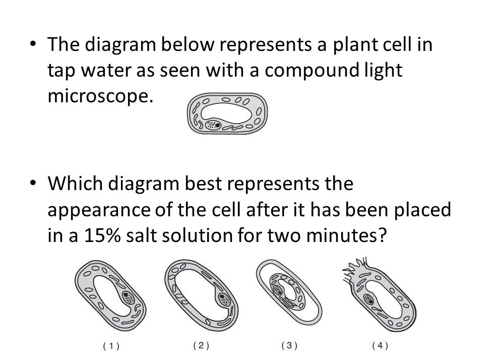 The diagram below represents a plant cell in tap water as seen with a compound light microscope.
