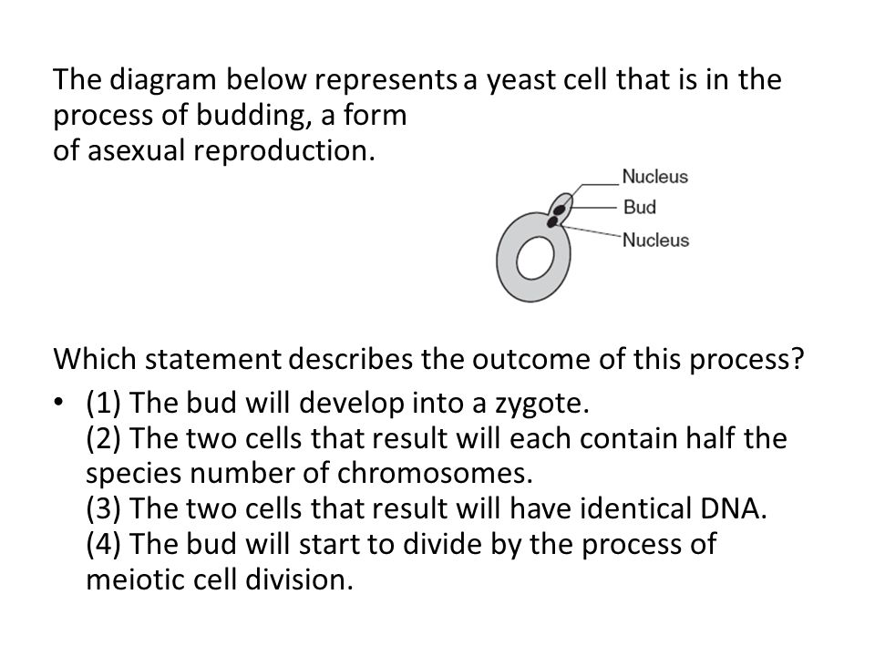 The diagram below represents a yeast cell that is in the process of budding, a form of asexual reproduction.