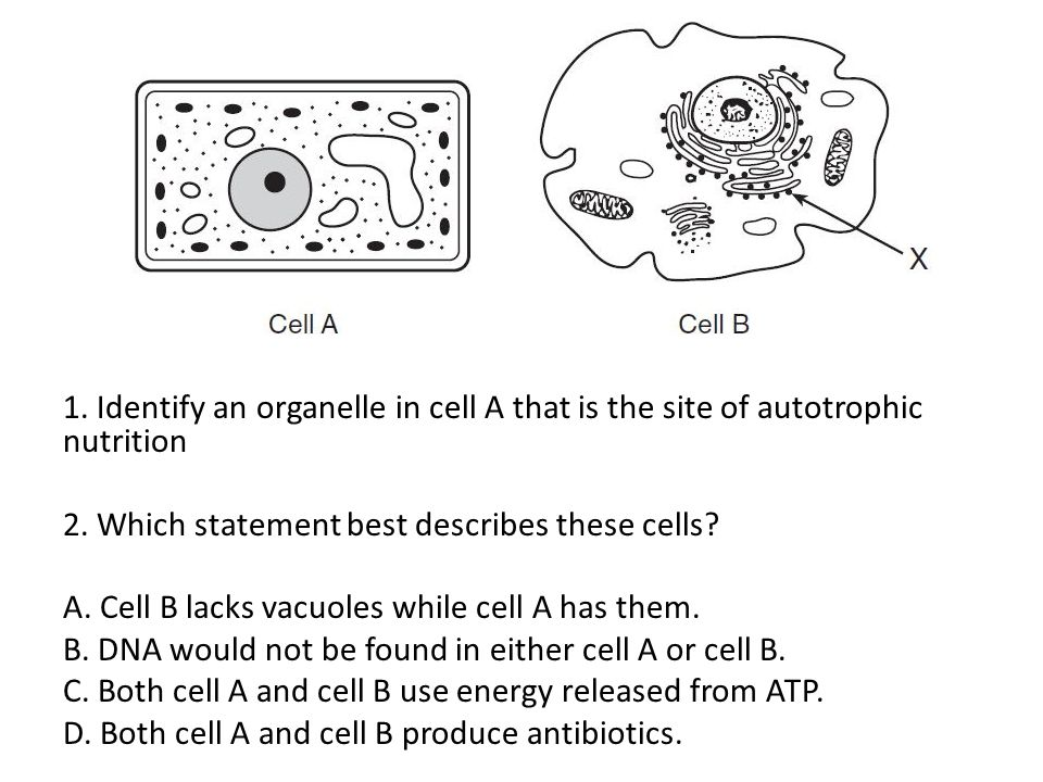 1. Identify an organelle in cell A that is the site of autotrophic nutrition