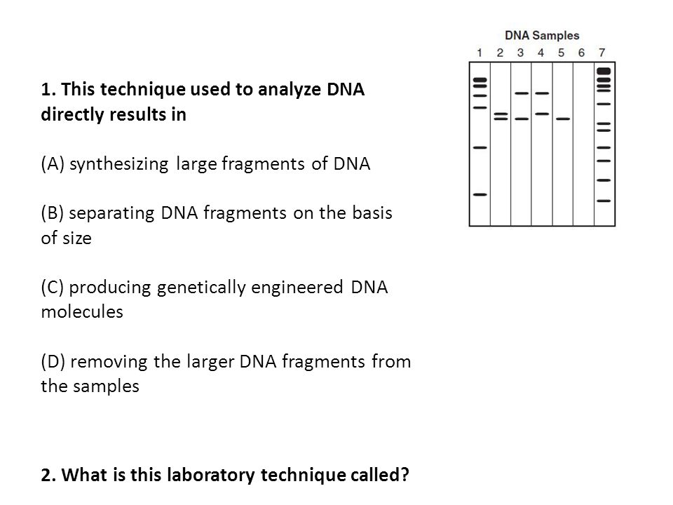1. This technique used to analyze DNA directly results in (A) synthesizing large fragments of DNA (B) separating DNA fragments on the basis of size (C) producing genetically engineered DNA molecules (D) removing the larger DNA fragments from the samples