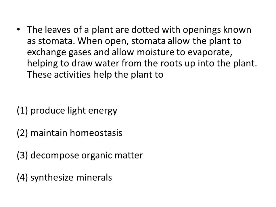 The leaves of a plant are dotted with openings known as stomata