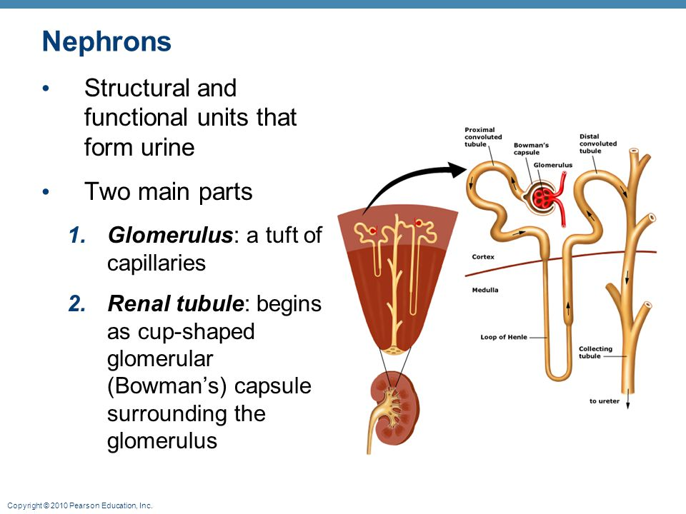 Nephrons Structural and functional units that form urine