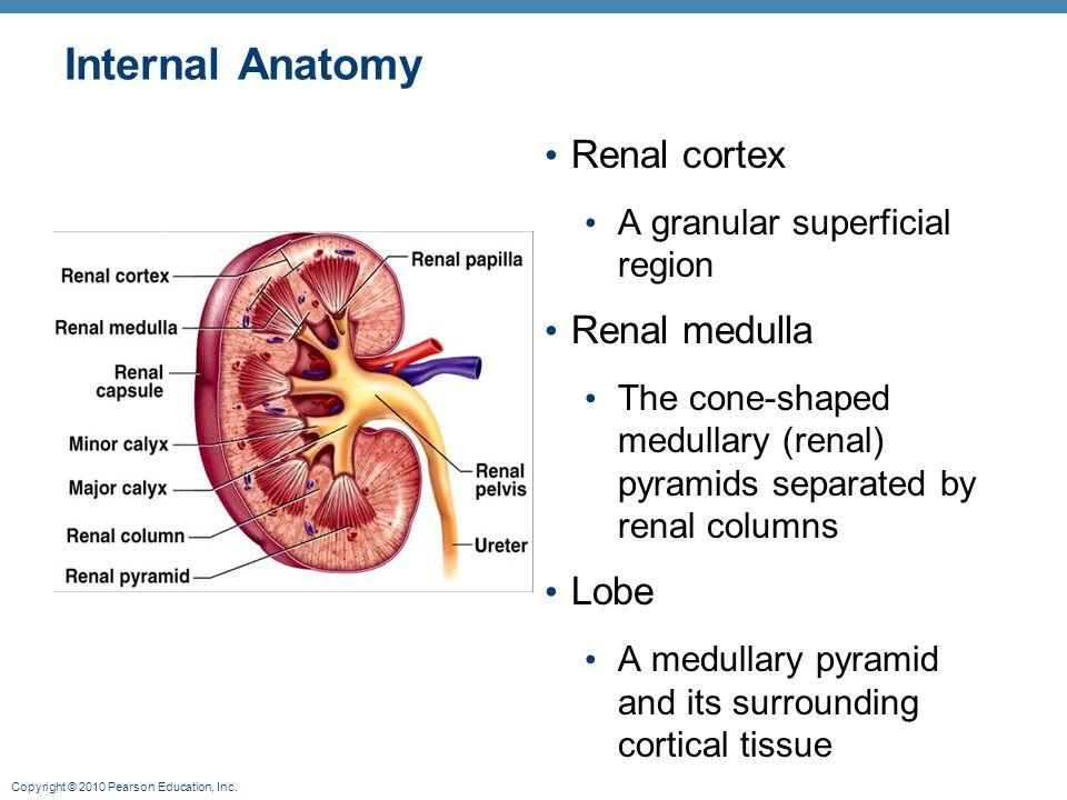 Internal Anatomy Renal cortex Renal medulla Lobe