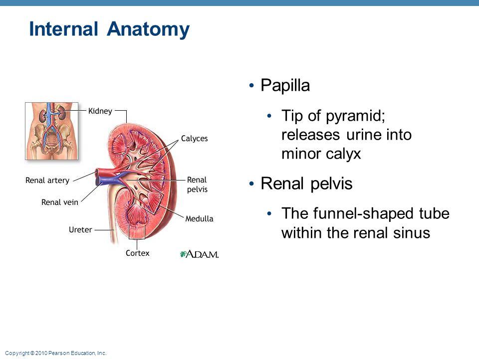Internal Anatomy Papilla Renal pelvis